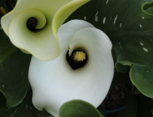 What Does A Calla Lily Represent In Your World?